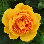'Soaring to Glory' Floribunda Rose