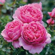 Princess Alexandra Of Kent Rose