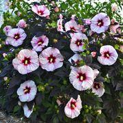 Hibiscus Summerific® Perfect Storm Alternate Image 1