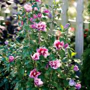 Hibiscus Purple Pillar™