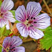 Geranium Crystal Lake