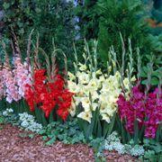 Glamini® Mixed Gladiolus