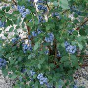 Vaccinium 'Sweetheart' Blueberry Alternate Image 1