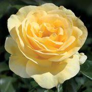 Sunshine Daydream Grandiflora Rose Thumb
