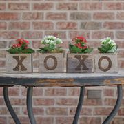 XOXO Red & White Kalanchoe Plants
