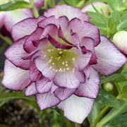 Helleborus Wedding Party Blushing Bridesmaid