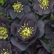 Helleborus Wedding Party Dark and Handsome