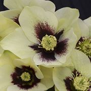 Helleborus Honeymoon® Spanish Flare