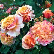 Crazy Love™ Grandiflora Rose Alternate Image 1