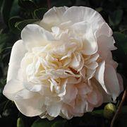 Camellia japonica Fifth Avenue Thumb