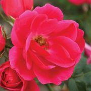 Flamingo Kolorscape® Floribunda Rose