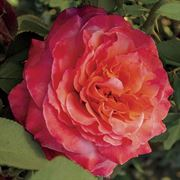 Surreal® 24-Inch Tree Rose