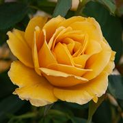 Alexs Lemonade Stand Grandiflora Rose