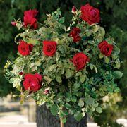 Black Cherry 24-Inch Tree Rose Alternate Image 1