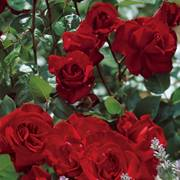 Black Cherry 24-Inch Tree Rose Alternate Image 2