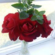 Black Cherry 24-Inch Tree Rose Alternate Image 4