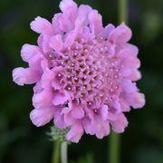 Scabiosa Flutter™ Rose Pink