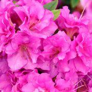 Rhododendron Perfecto Mundo® Double Purple Azalea Thumb