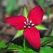 Trillium Red