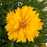 Coreopsis SunSwirl