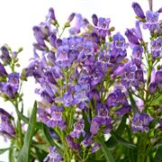 Penstemon Blue Rock Candy®