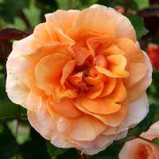 Double Easy Orange Floribunda Rose Alternate Image 2