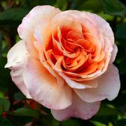 Double Easy Orange Floribunda Rose Alternate Image 3