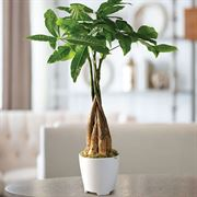 Money Tree in White Container
