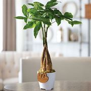 Money Tree in White Container with Sloth