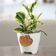 Cupid Peperomia -Varigated with Sloth