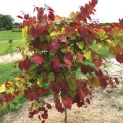 Cercis Flame Thrower®