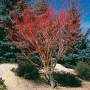 Acer palmatum 'Sango Kaku' Thumb