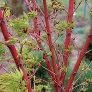 Acer palmatum 'Sango Kaku' Alternate Image 1