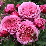 Queen of Elegance™ Floribunda Rose Thumb