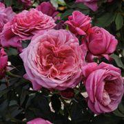 Queen of Elegance™ Floribunda Rose Alternate Image 1