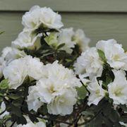 Rhododendron PERFECTO MUNDO® Double White Azalea