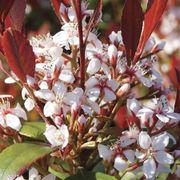 Rhaphiolepsis Redbird™ Alternate Image 2