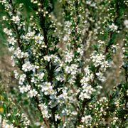 Prunus besseyi Sand Cherry Thumb