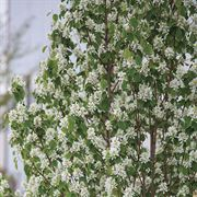 Amelanchier First Editions® Standing Ovation™ Alternate Image 2