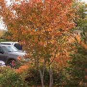 Amelanchier 'Autumn Brilliance' Thumb
