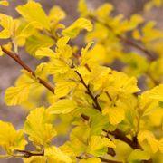 Physocarpus 'Dart's Gold' Thumb