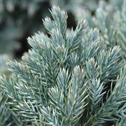 Juniperus 'Blue Star' Alternate Image 1