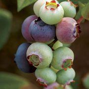 Vaccinium 'Duke' Blueberry Thumb