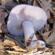 Blewit Mushroom Thumb
