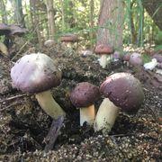Garden Giant King Stropharia Mushroom