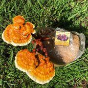 Golden Reishi Mushroom