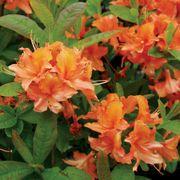 Rhododendron Mandarin Lights Azalea
