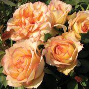 Over The Edge Floribunda Rose Thumb