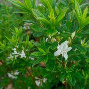 Rhododendron Swamp Azalea Thumb