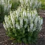 Salvia Bumblesnow